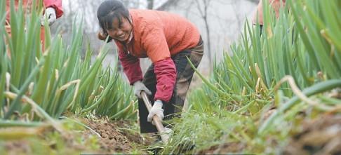 昨天,肥西县高刘镇大葱生产基地,工人们正在给大葱松土。