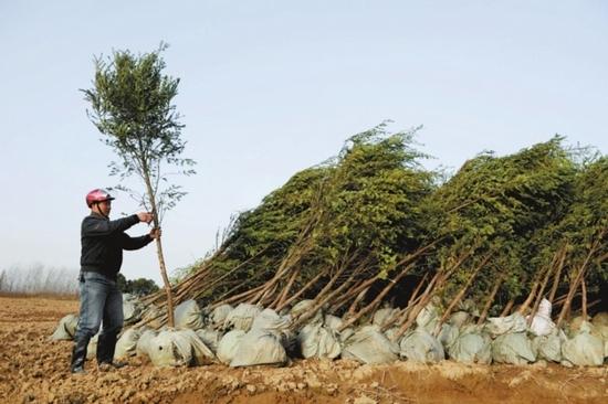 安徽肥西苗木基地,大量苗木等待栽种