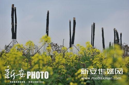 春天到了,油菜花开了,来自国外的古树仍然没有发芽。
