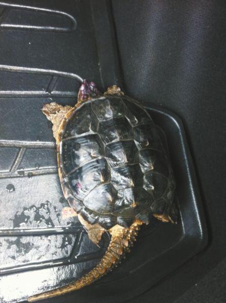 这只鳄龟将近5斤重,样子很威猛。