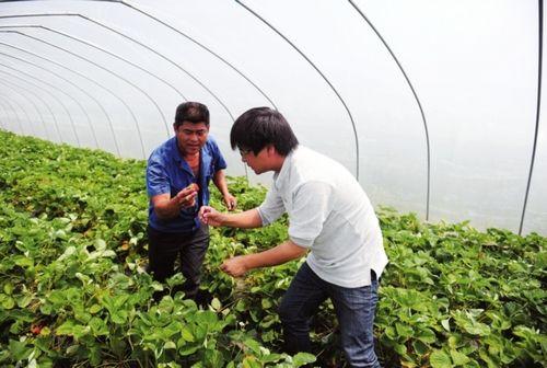 记者在帮果农采摘草莓。