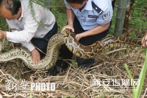 北京动物园捕获最大蟒蛇