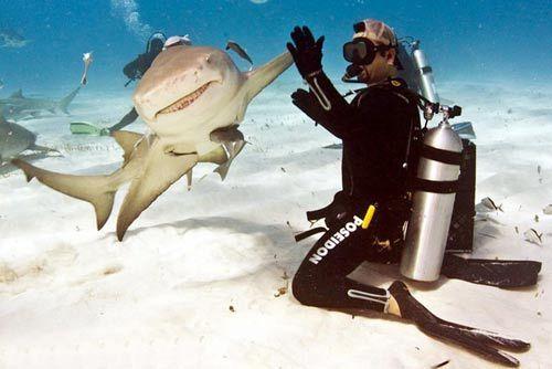 鲨鱼微笑与潜水员击掌问好
