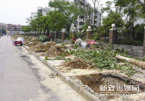 黄山市区一主干道数百株香樟被挖