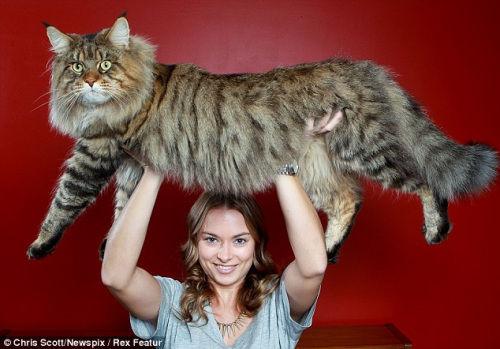 重达9公斤的猫咪鲁普特与其主人在一起。