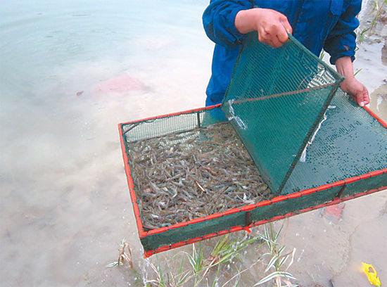 工作人员正将小鱼小虾投放入湖