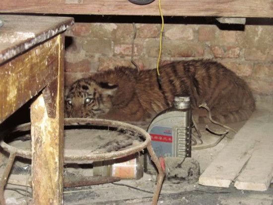 小老虎蜷缩在吕先生家的厨房里