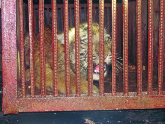 小老虎被关进笼内,随后送往动物园
