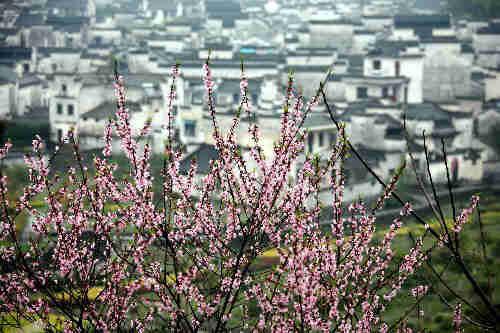 五里的桃花特别出名
