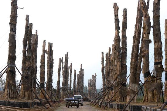 精品园内,98棵紫薇树分立两排,已全部死亡