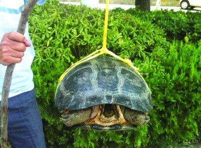 """街头叫卖的""""巨龟"""""""