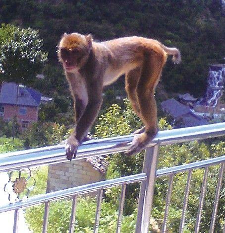 野猴竟窜到居民家中。