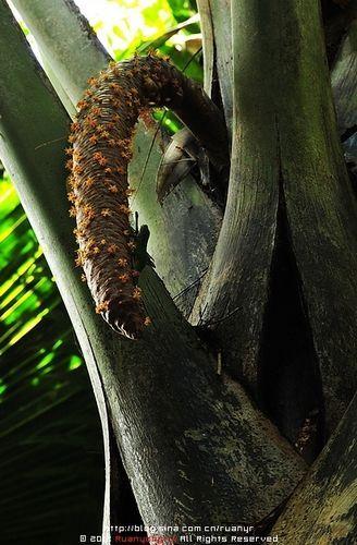 雄花海椰子