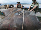 渔民捕获1吨重巨型蝠鲼