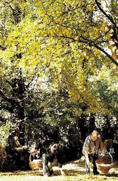 云南省腾冲县固东镇的古银杏生态旅游村,3万多株银杏树使这个小山村变得秋意甚浓