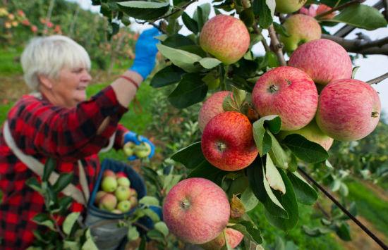 今年7月,在德国和波兰边界附近的Obsthof Herzberg ,工人们在收获苹果