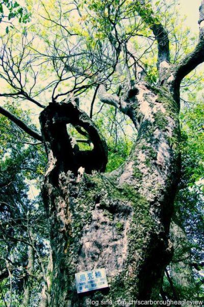 580年树龄的黑壳楠,该成树精了