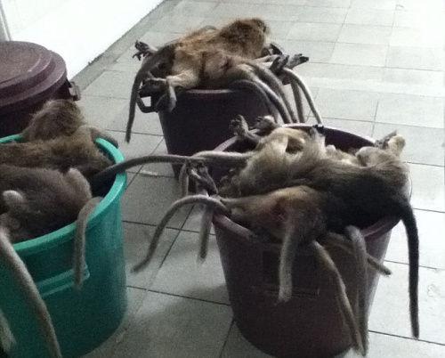 被丢弃的猴子尸体