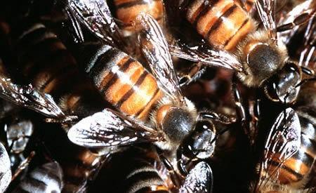 在妻子的葬礼中被蜜蜂蛰死