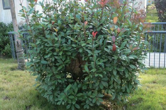 超大马蜂窝就藏在这个灌木丛里(图片由受访者提供)
