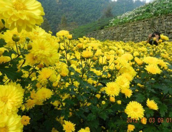 徽州黄菊花