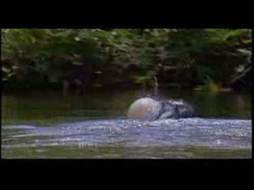 尼罗河直流里生活着一种膨胀鱼,重约500克,体型平常,肉质不佳。它们吃小鱼小虾,但大鱼很难吃到它们,因为它们有奇妙的膨胀特技。