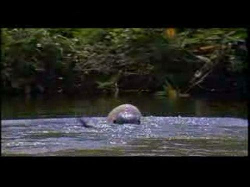 水獭一次次地想把气球按入水中