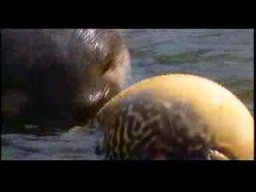尼罗河神奇膨胀鱼瞬间变大20倍自救