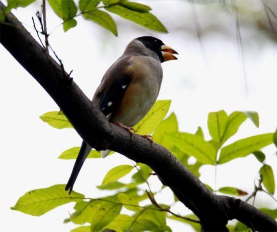 黑尾蜡嘴的雄鸟在对歌呢
