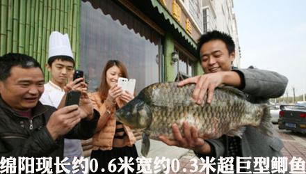 绵阳现超巨型鲫鱼 长约0.6米宽约0.3米(图)