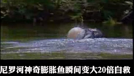 尼罗河神奇膨胀鱼瞬间变大20倍自救(组图)