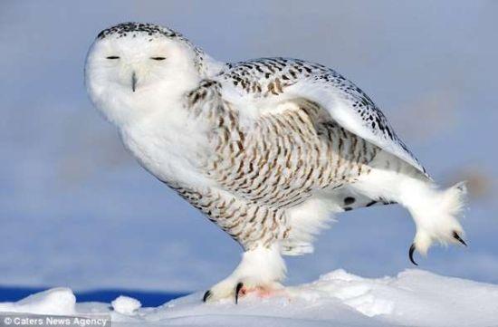 加拿大雪鹰睡眼朦胧雪地做运动