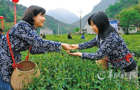 名茶六安瓜片原产地,游客身穿采茶女服装在茶园体验采摘新茶的乐趣。