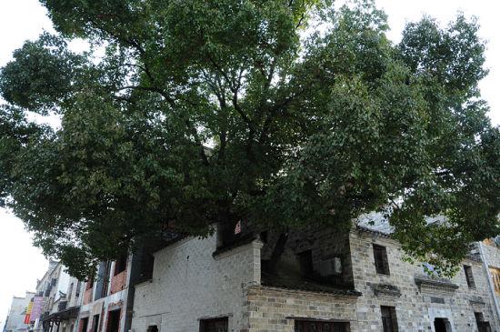 古镇旅店旁的巨大樟树