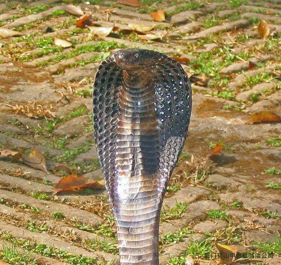 眼镜蛇(资料图)
