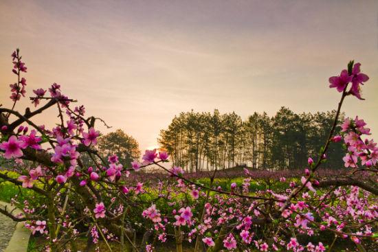 晨曦里的桃花