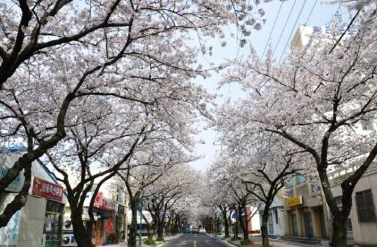 济州岛樱花