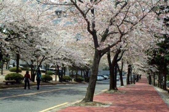 3、4月是韩国樱花盛放的季节