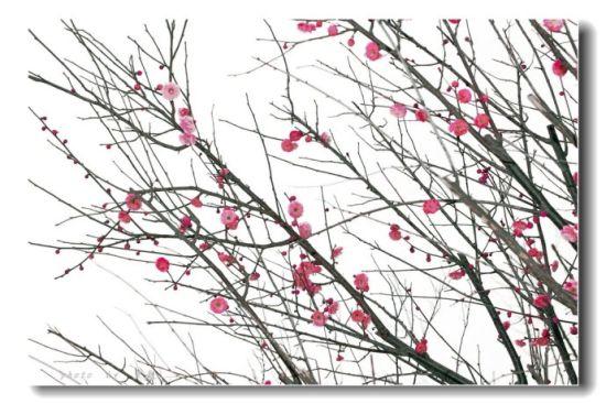 江畔梅花暗香浮动展露娇艳,点缀着屯溪的春