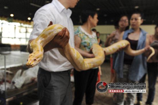 7月17日,长沙生态动物园,首届大型情景体验式名贵蛇展将于7月20日至8月30日展出。图/潇湘晨报滚动新闻记者 杨旭