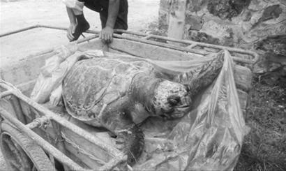 这只海龟有300多斤