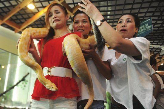 """7月20日是长沙生态动物园蛇展首日,当天上午,在首届""""情景体验式名贵蛇展""""开幕式上,有胆大市民还将黄金蟒环绕在身上。"""