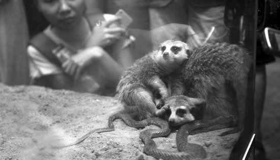 7月20日,长沙生态动物园,三只细尾獴依偎在角落里一动不动,丝毫没有制服小蛇的打算。图/记者辜鹏博