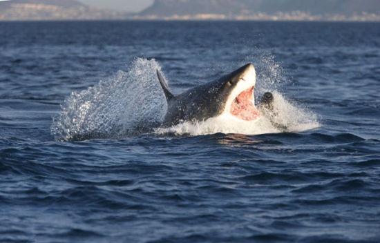 英国摄影师抓拍大白鲨捕食海豹瞬间