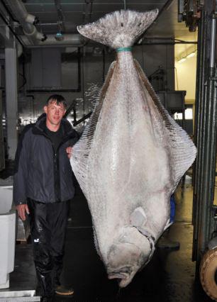 德国垂钓者喜钓世界最大比目鱼