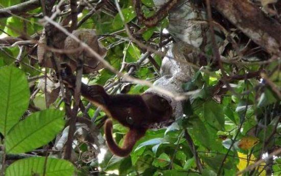 巨蟒树上吞下重达6公斤活猴