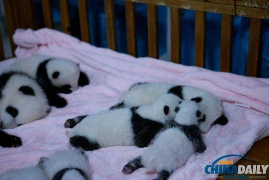 成都新生大熊猫宝宝集体亮相萌翻全场