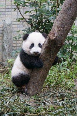 可爱熊猫图片萌萌哒爬树
