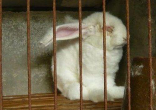 养殖场被指粗暴活揪兔子毛兔子痛苦嚎叫