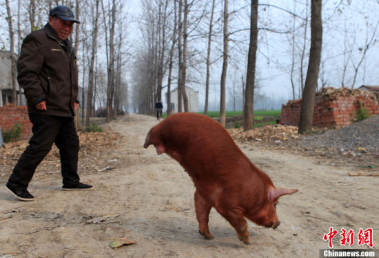黑龙江新闻网讯伊春市王某家有一头怪猪,它虽然只有两条腿,但却能行走自如。   这头小猪的主人叫王家新,家住伊春市友好区长青委71号。去年6月,王家新买回了一头杂交母猪,今年3月30日产下一窝猪崽儿,共9个,3个是身上长有花纹的小野猪,6个是家猪。其中有一头家猪生下来就没有后腿和大部分后鞧。王家新仔细观察发现,这头小猪块头比别的小猪大,前腿粗一圈,吃奶的时候,总能抢到最前列,走路的时候,迈动两条前腿,尾巴和屁股翘得高高,呈倒立状。大、小便也都是倒立着。而且越长越壮,倒立行走的速度也很快。(黑龙江新闻网)